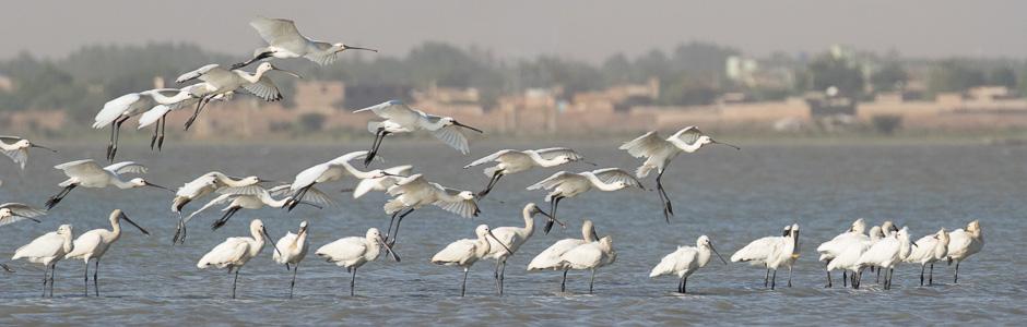 Nile-birds00